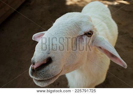 Smiling Of Female White Goat In Farm