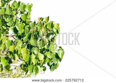 Photo Of Banyan Leaf With Isolated Background