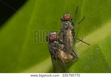 Mating Of Two Flies Macro On Leave In Nature,macro View