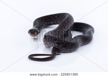 Snake On White Background, Reptile Of Thailand