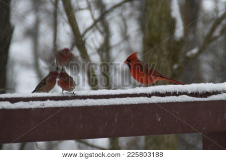 Red Male Northern Cardinal And A Flock Of Red House Finches Perched On A Back Deck Porch Railing In