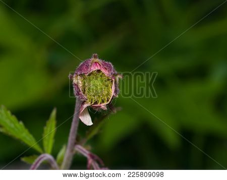 Water Avens, Geum Rivale Fluffy Flower On Stem Macro With Bokeh Background, Selective Focus, Shallow