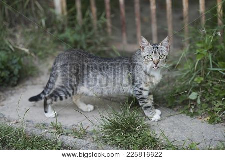 Cute Cat With Grey Fur Walk On Garden Path On Summer Day. Pet, Companion, Friend. Feline, Domestic A