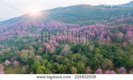 Pink Sakura Tree Or Wild Himalayan Cherry On Mountain