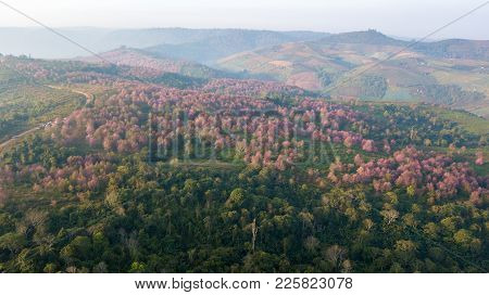 Wild Himalayan Cherry Forest Near Agriculture Aera On Mountain