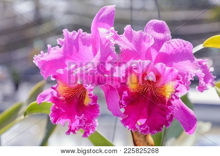Orchid Flower In Orchid Garden At Winter Or Spring Day For Postcard Beauty And Agriculture Idea Conc