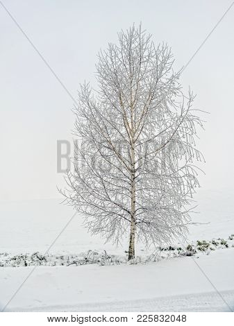 Lonely birch tree covered with snow and frost