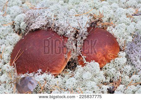 Delicacy - Mushrooms Growing In Wild, In Siberian Taiga