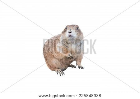Prairie Dog Isolated On A White Background
