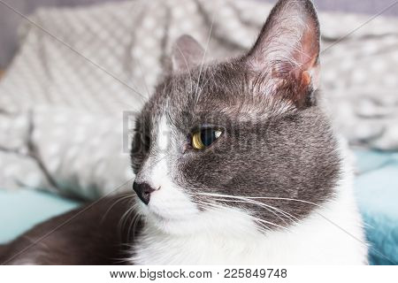 Clever grey cat poses lying in bed and look selective focus. poster