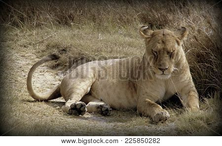 Lioness In The Sabana Of Tanzania, Africa