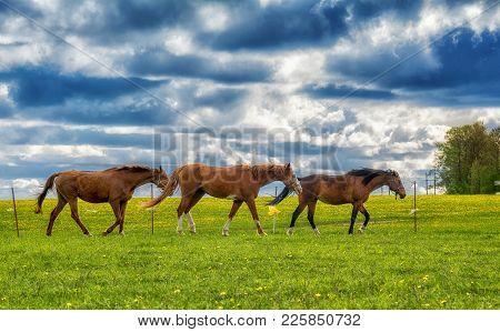 Three Bay Horses Walking Along A Green Meadow Against A Blue Cloudy Sky.