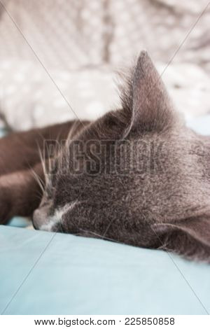 Blurred Young Grey Cat Sleeping Doze Blue Bed.
