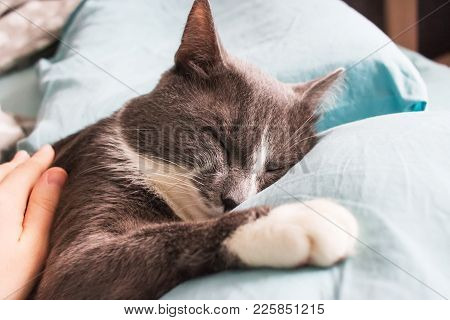 Grey Cat Sleeping Bed Cute Fluffy Paw Selective Focus.