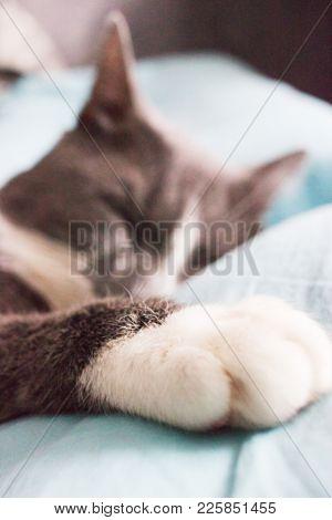 Blurred Grey Cat Sleeping Bed Cute Fluffy Paw.