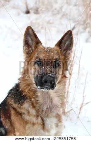 Close-up Of A German Shepherd Dog Looking Into The Camera During A Winter Snow Storm. Extreme Shallo