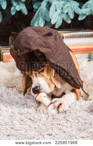 Funny Beagle Dog In Russian Style Brown Fur Hat With Ear Flaps Lies On Fur Carpet, Holding And Eatin