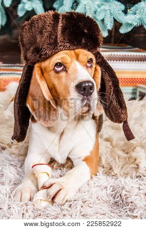 Cute Beagle Dog In Brown Fur Hat With Ear Flaps Lies, Looks Up And Keeps The Bone On The Fur Carpet