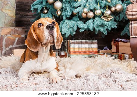 Obedient Beagle Dog Looks Up And Waiting For Gifts On The Fur Carpet Near Cristmas Tree.