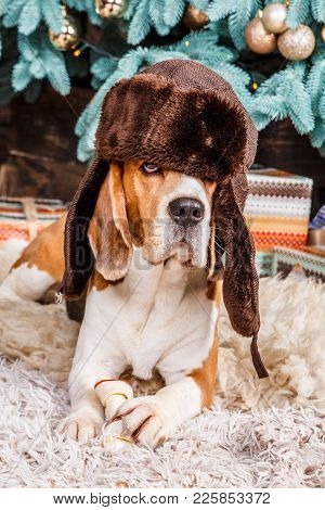 Funny Young Beagle Dog Lies On The Fur Carpet Wearing Hat With Ear Flaps And Holding Food Near The C