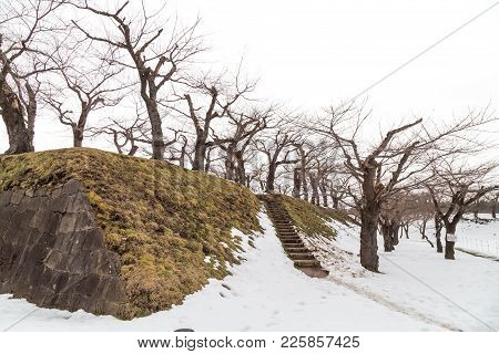 Deciduous Cherry Trees During Winter At Fort Goyokaku, Hokkaido Japan.