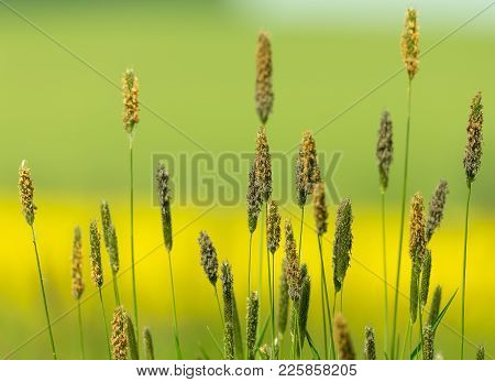 Grass On Meadow, Green Color