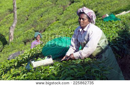 Tea Picker Working In Tea Plantation In Munnar, Kerala, South India