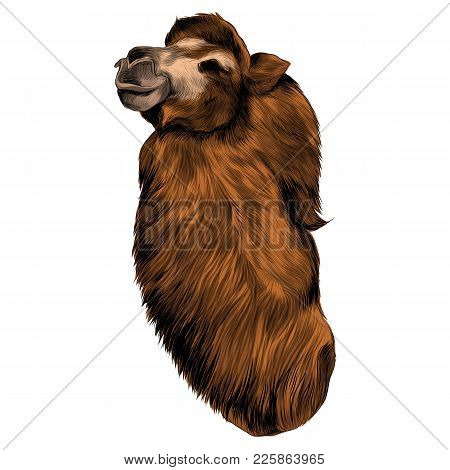 camel sketch vector graphics color picture head
