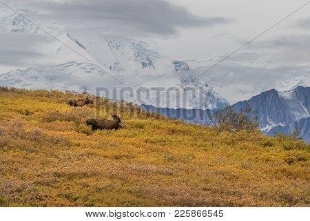 a bull and cow Alaska Yukon moose in Denali National park