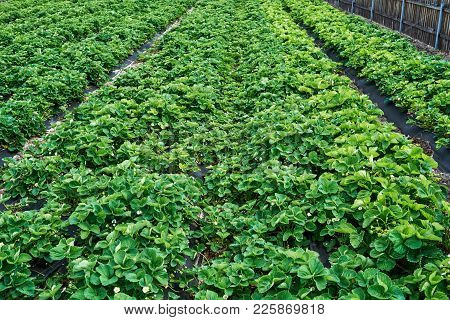 Strawberry Plant. Strawberry Bush With Green Leaves Growing In The Garden, Copy Space. Organic Straw