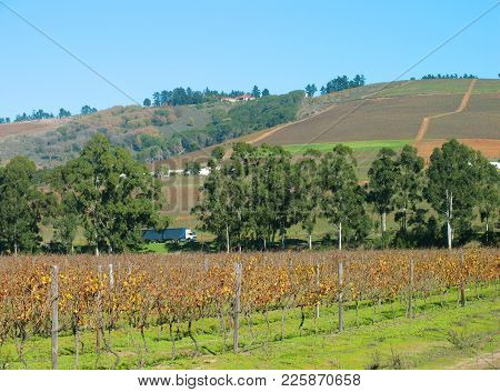 Country Farm Land, With Grape Vines In The Fore Ground, With A Row Of Trees In The Mid Ground And A
