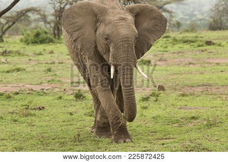 elephant grazing on the grasslands of the Maasai Mara, Kenya