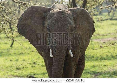 Closeup Of An Elephant In The Grasslands Of The Maasai Mara, Kenya