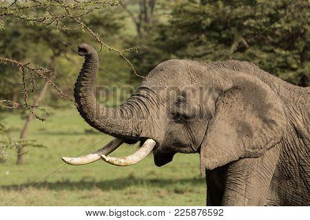 An Elephant Eating Leaves From A Tree In The Maasai Mara, Kenya