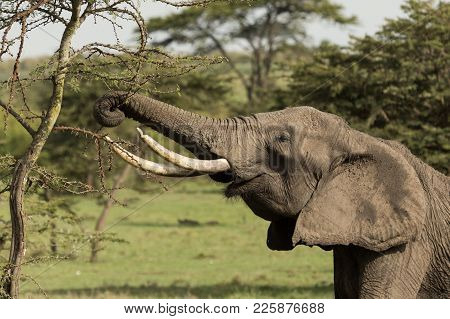 an elephant grazing on the trees of the Maasai Mara, Kenya