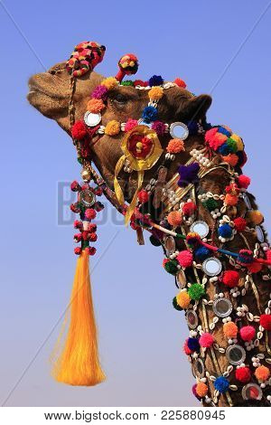 Portrait Of Decorated Camel At Desert Festival, Jaisalmer, Rajasthan, India