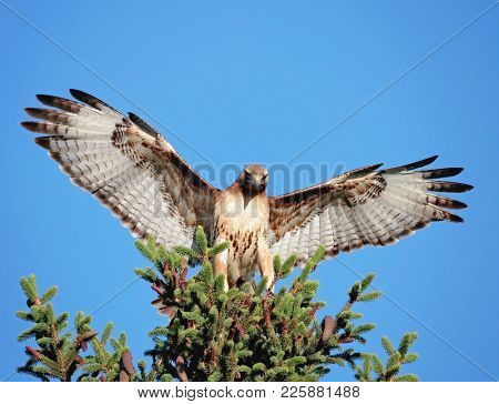 red tail hawk stretching its wings out on a branch out in nature on a hot summer day