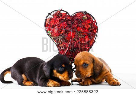 Dachshund Dog Puppy Red Heart Studio Quality