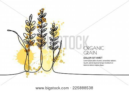 Continuous Line Drawing. Vector Watercolor Wheat, Rice Ears And Grains. Design For Cereal Products,