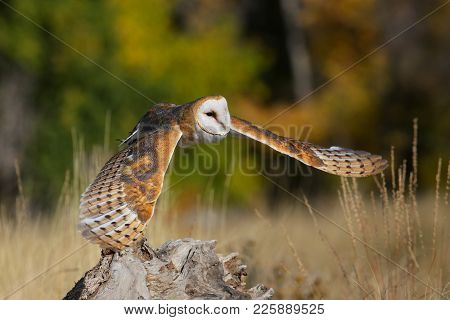 Barn Owl (tyto Alba) Low In Flight