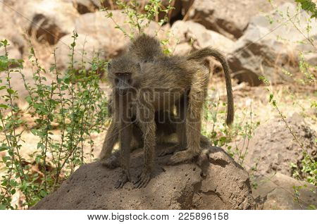 Closeup of Olive Baboons (scientific name: papio anubis, or Nyani in Swaheli) in Lake Manyara National park, Tanzania