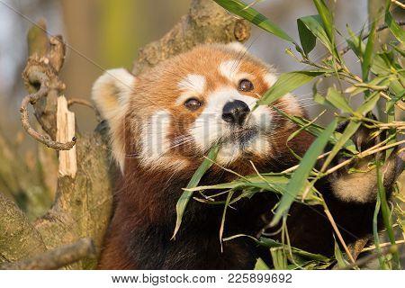 Cat Bear, Small Panda, Asian Small Bear With Foxroten Fur (ailurus Fulgens)