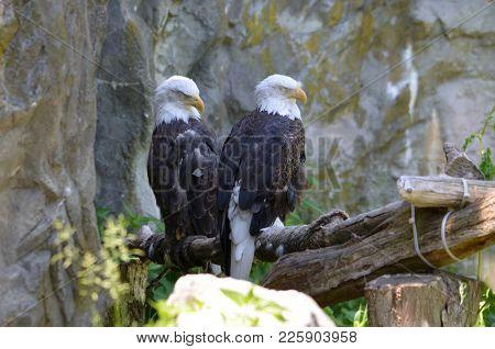 Fantastic Pari Of American Bald Eagles On A Perch.