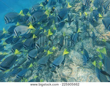 School Of Yellow-tailed Surgeonfish (prionurus Laticlavius) Off The Coast Of Espanola Island, Galapa
