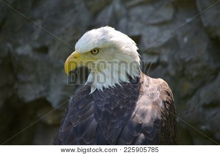 Amazing Close Up Look At An American Bald Eagle.