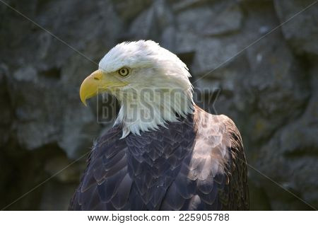 Fantastic Close-up Of An American Bald Eagle.