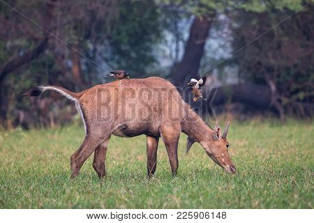 Male Nilgai With Brahminy Mynas Sitting On Him In Keoladeo National Park, Bharatpur, India. Nilgai I