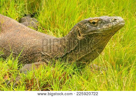 Komodo Dragon (varanus Komodoensis) Lying In Grass On Rinca Island In Komodo National Park, Nusa Ten