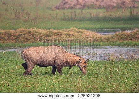 Nilgai (boselaphus Tragocamelus) Feeding In Keoladeo Ghana National Park, Bharatpur, India. Nilgai I