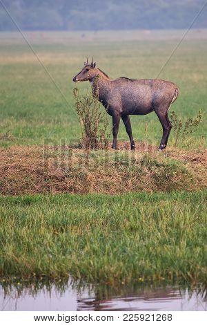 Male Nilgai (boselaphus Tragocamelus) Standing In Keoladeo Ghana National Park, Bharatpur, India. Ni